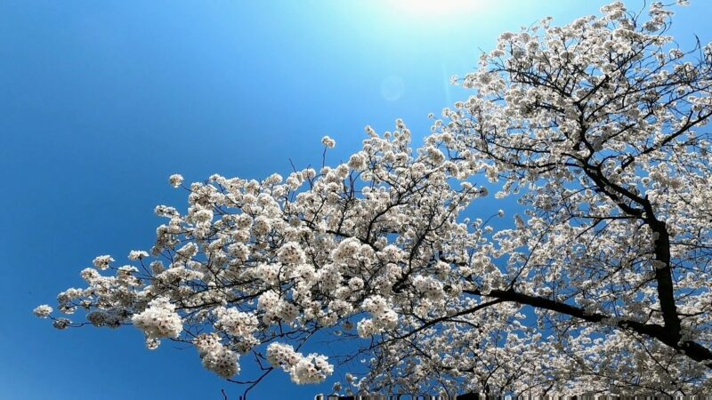 【山形城跡 桜満開 4月山形観光情報】霞城公園の出羽桜に癒される Yamagata-Tourism-Information-in-April.Enjoy-the-Cherry-Blossoms-in-Full-Bloom-at-the-Ruins-of-Yamagata-Castle.jpg