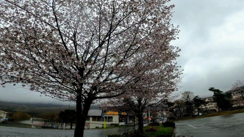 【コシアブラ超簡単基本ノウハウ 山菜の季節】山形蔵王温泉スキー場   Enjoying-the-Blessings-of-Nature-at-Yamagata-Zao-Onsen-Ski-Resort-in-Spring.jpg