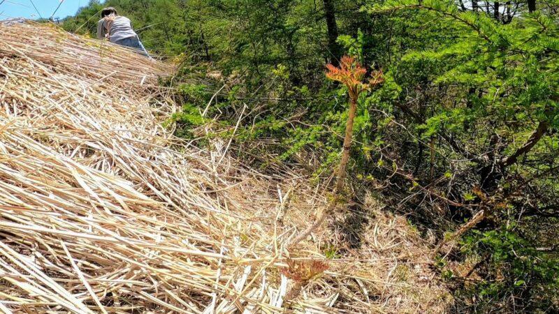 【山菜と開花ラッシュ 新緑の5月旬を楽しむ】山形蔵王温泉スキー場   SANSAI-and-Flowering-Rush-at-Yamagata-Zao-Onsen-Ski-Resort.Enjoying-the-Fresh-Green-Season-of-May.jpg