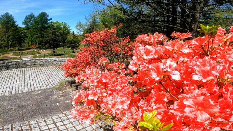 【満開のツツジ5月 開花ラッシュ】新緑で賑わう山形市西蔵王野草園   Yamagata-Zao-Yasoen-bustling-with-fresh-greenery-in-full-azalea-bloom-rush-in-May.jpg