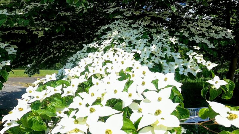 見頃のヤマボウシ 6月 山形野草園 yamagatayasouen-yamaboushi.jpg