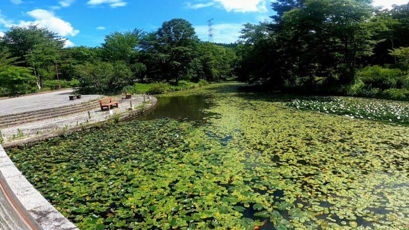 【7月見事なアジサイ 夏空と開花ラッシュ】梅雨明け真夏の山形蔵王   Beautiful-Hydrangeas-and-Flowering-Rushes-at-Yamagata-Zao-Yasouen-in-July-Summer.jpg