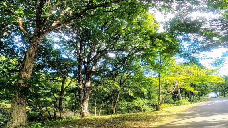 【キキョウが見頃 8月野草園の開花情報】夏の山形蔵王自然を楽しむ   Enjoy-the-full-blown-kikyou-and-blooming-rush-at-Yamagata-Zao-Yasouen-in-August-summer.jpg