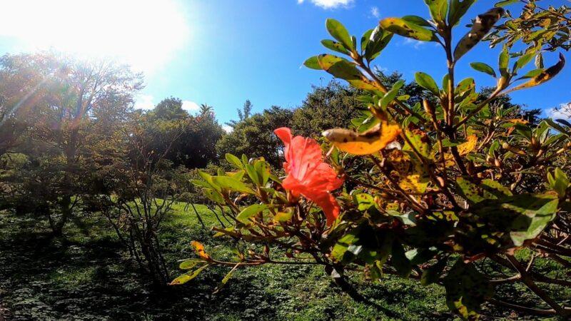 【10月西蔵王山形市野草園 自然と花の季節を比較】紅葉と開花情報 Comparison-of-October-flowering-information-and-seasonal-changes-at-Yamagata-Yasoen-in-Nishi-Zao.jpg